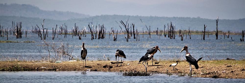 Een alledaags zicht in Kariba: op de voorgrond maraboes en een heilige ibis, op de achtergrond dode bomen, overblijfselen van de beboste vallei die onderliep door de constructie van de Karibadam in de jaren '60.