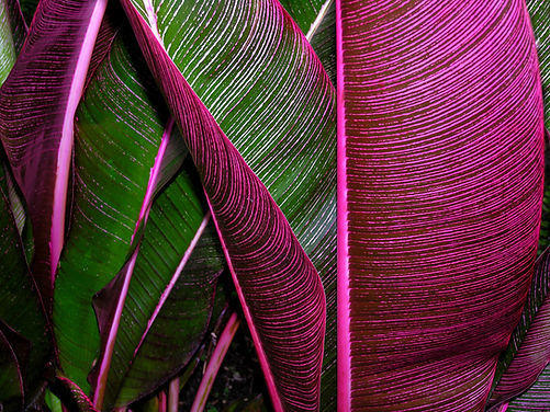 large leaves that are striated pink and green