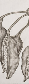 Pods. Silverpoint on Canvas