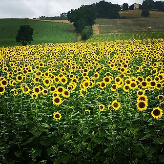 There's beauty all around! 💛🌻 #sunflow