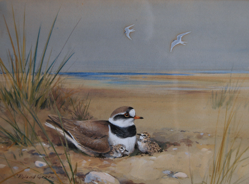 """Ringed Plover"""