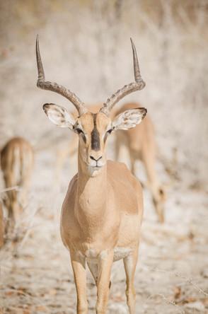 Portrait d'impala