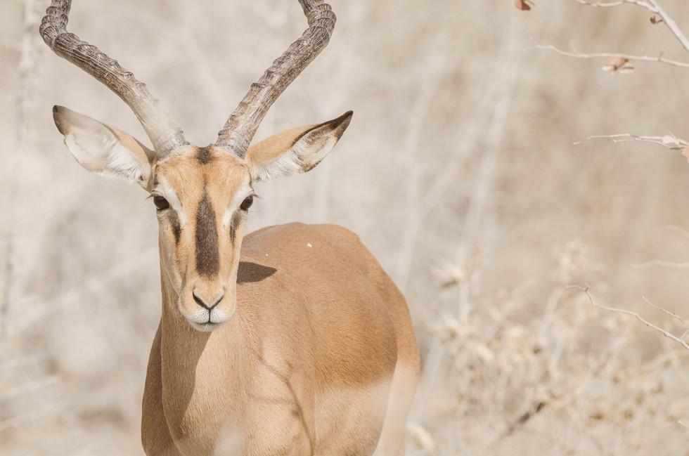 Portrait d'impala - 2