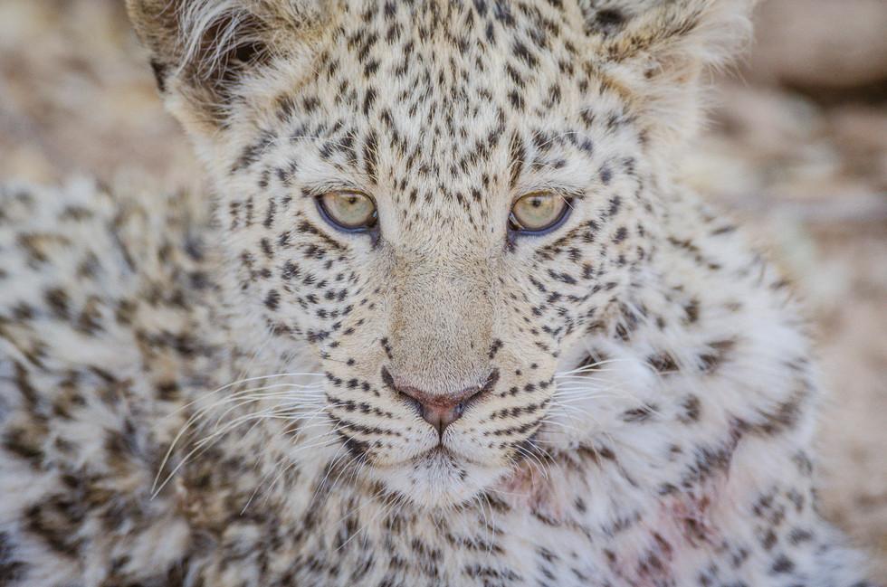 Bébé léopard de 3 mois