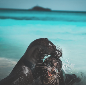 galapagos seals playing on the beach