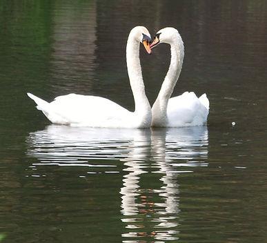 swans _edited.jpg