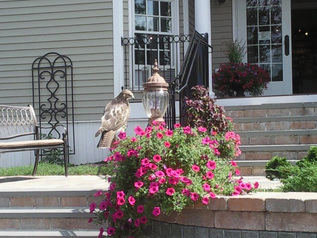 Hawk at entrance