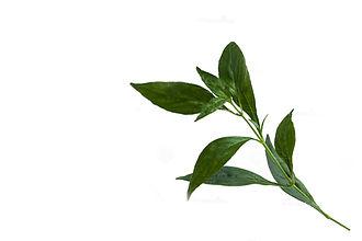 andrographis-paniculata-500x500.jpg