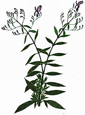 andrographis-paniculata plant.jpg