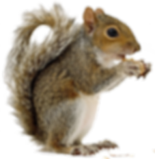 Squirrel-PNG-Image-49789.png