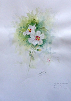 hibiscus CB