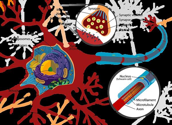 Coupe cellulaire d'un neurone