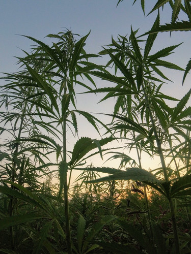 field of marijuana cannabis hemp