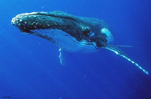 humpback close.jpeg