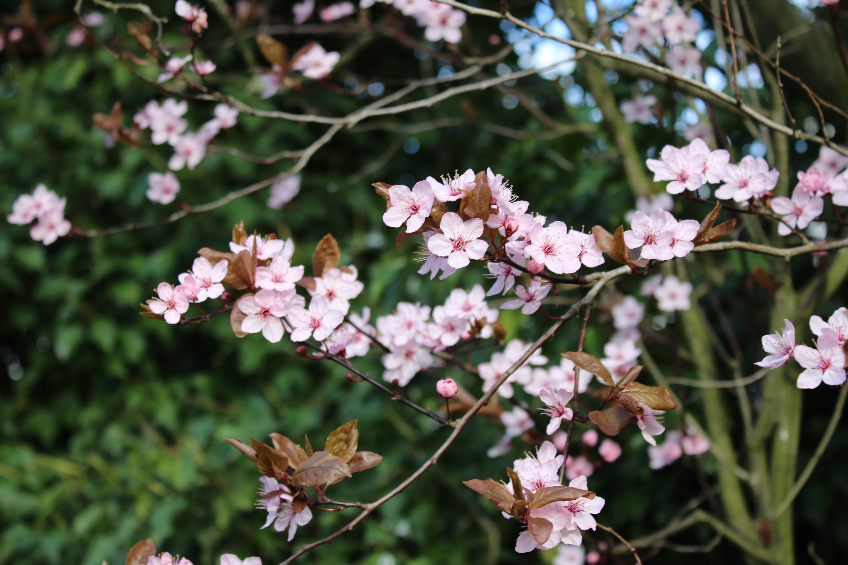Blossom in March