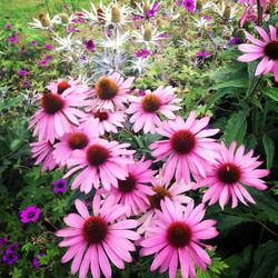 Generous Echinacea