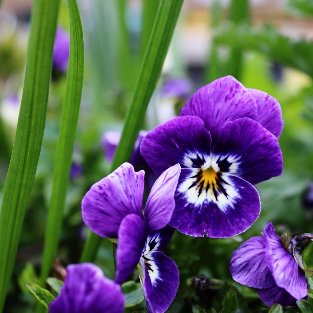 Purple Leo