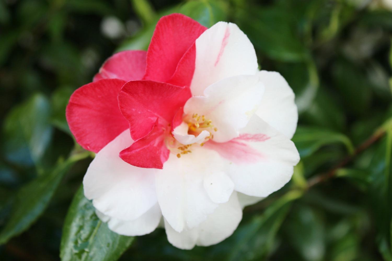 Vitiligo Flower
