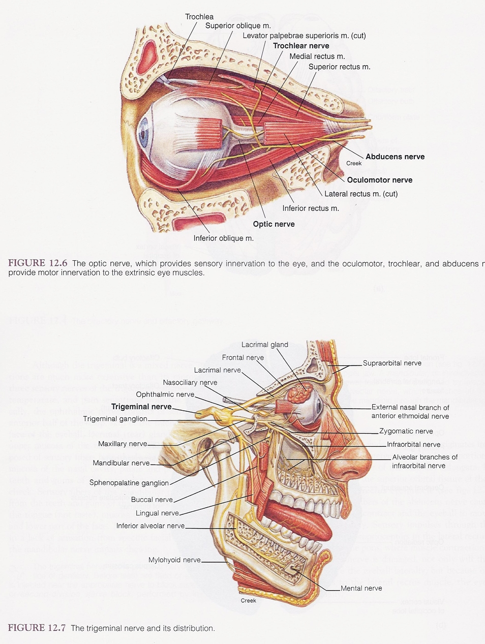 Optic And Trigeminal Nerves