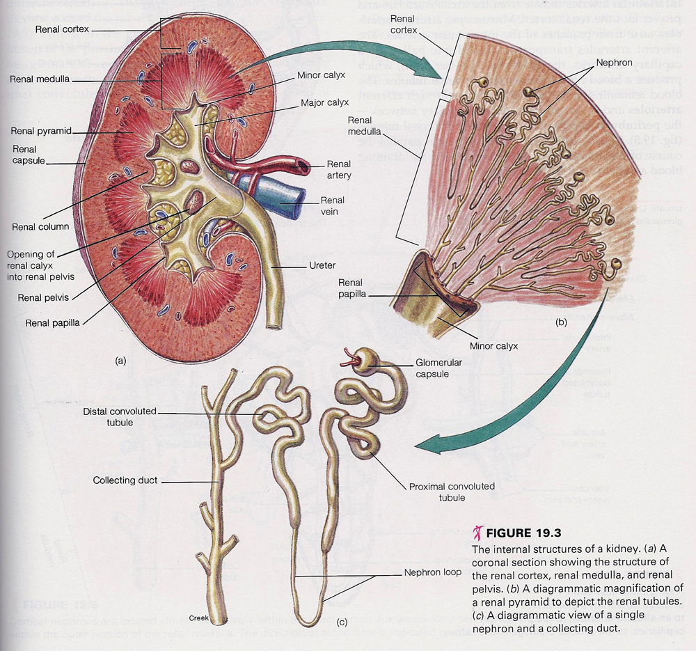 Kidney Structures