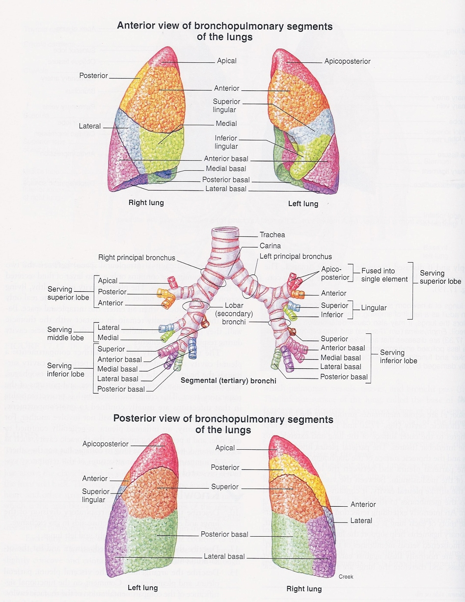 Bronchopulmonary Sections Of Lungs