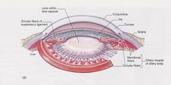 Eyeball structures