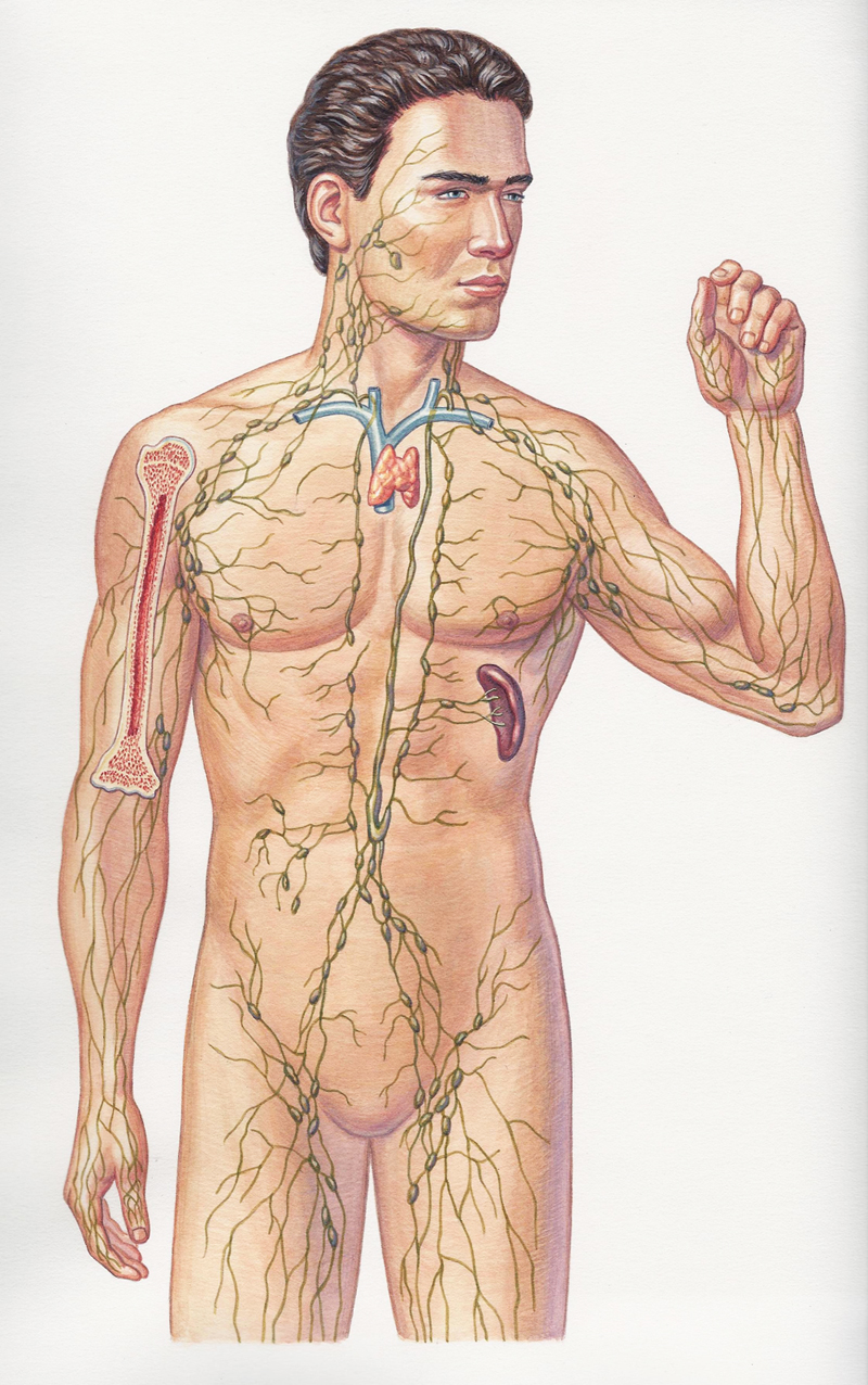 Lymphatic System Man