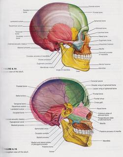 Skull Lateral