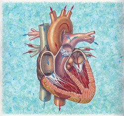 Heart And Blood Flow