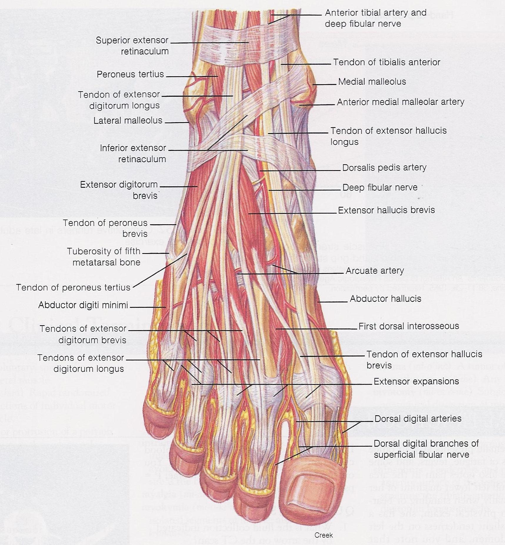 Foot Anterior