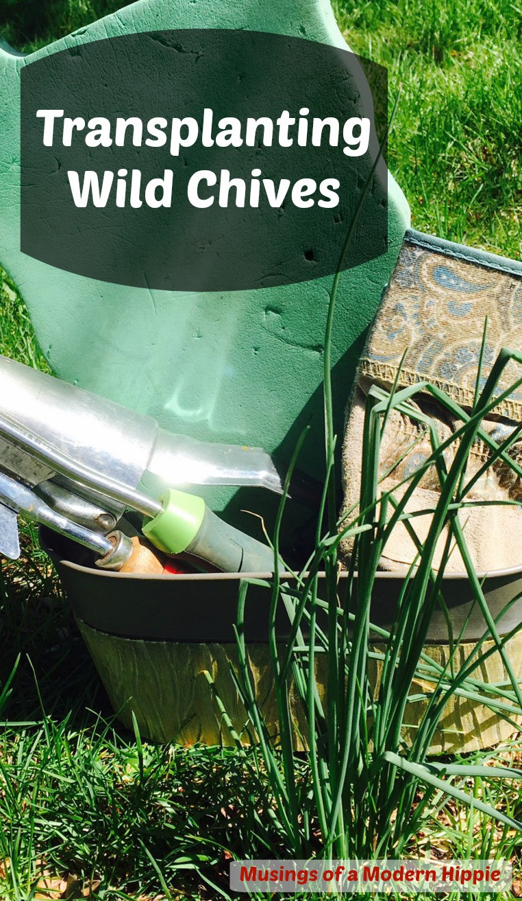 Transplanting Wild Chives | Musings of a Modern Hippie