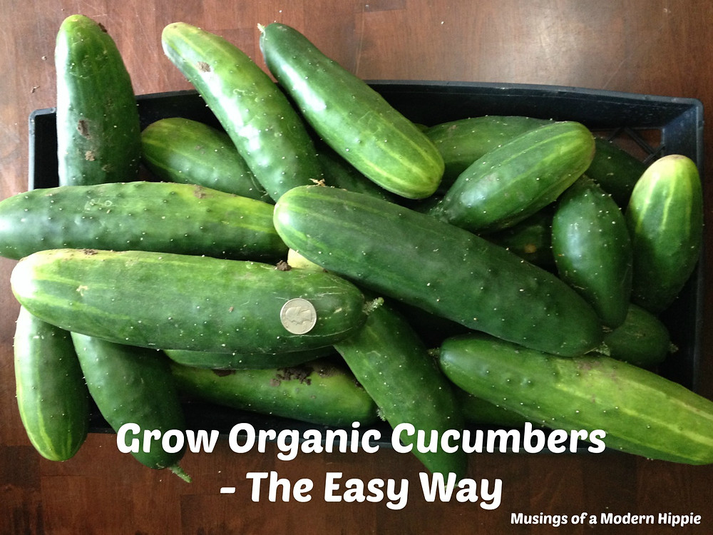 Growing Cucumbers | Musings of a Modern Hippie
