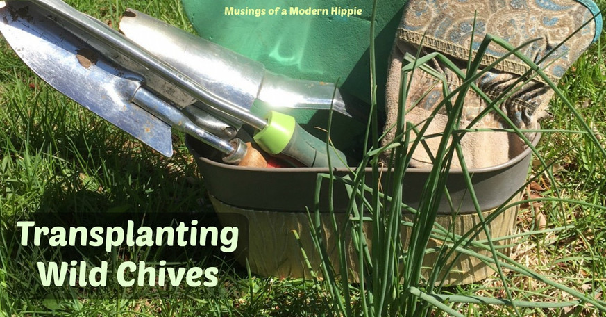 Wild Chives: How to Transplant