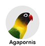 agapornis.png
