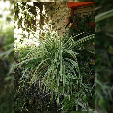 Plantas de lazos de amor - Mateo