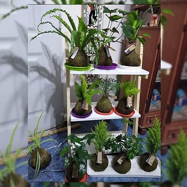 Kokedamas varias - Kokedamas y Cactus