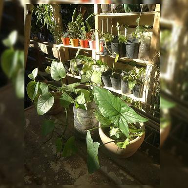 Plantines de singonio - Mateo