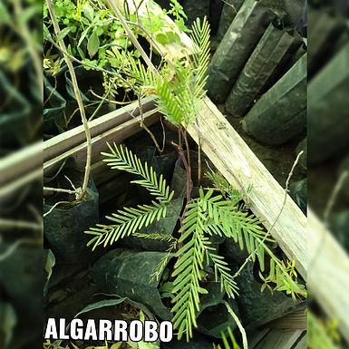 Planta De Algarrobo - Vivero Doña Mecha