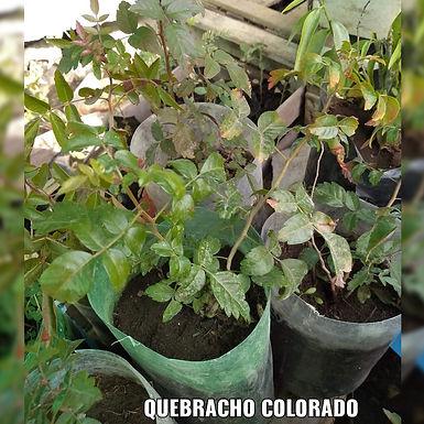Planta De Quebracho Colorado - Vivero Doña Mecha
