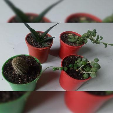 Macetitas para souvenirs con cactus y suculentas - El pinchudito cariñoso