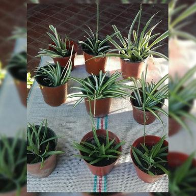 Plantines de Potus - Mateo