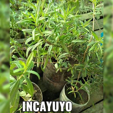 Planta De Incayuyo - Vivero Doña Mecha
