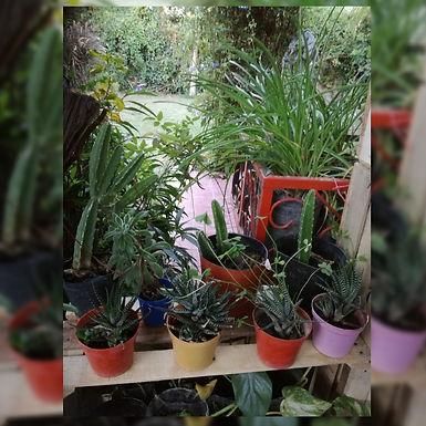Cactus y suculentas - Mateo