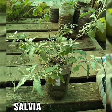 Planta De Salvia - Vivero Doña Mecha