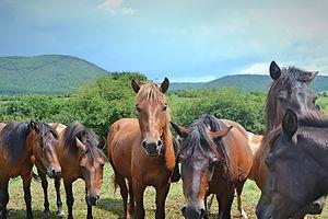 Kiváncsiskodó hucul pónik | Zuzmó Vendégház Jósvafő | Szállás Aggeleki Nemzeti Park