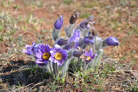 Márciusi kökörcsin virágzás