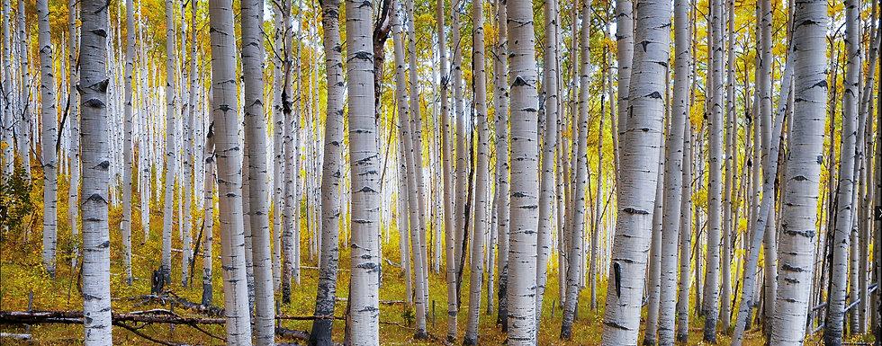 Aspen Trees.jpg