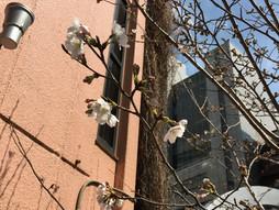 sakura bloomed
