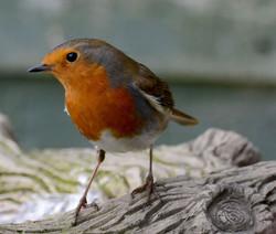 Robin by Jackie Hildreth