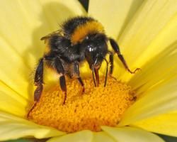 Bumble Bee on Jamaican Primrose